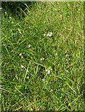 SH7357 : Eyebright in a meadow by the river by Richard Law