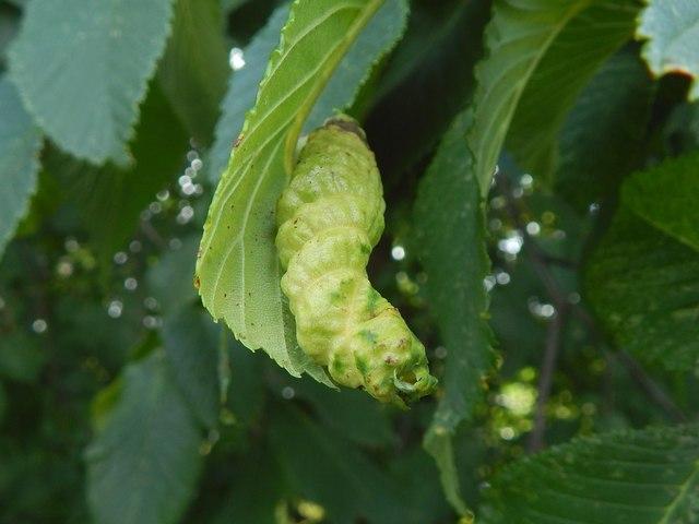 Leaf gall on wych elm
