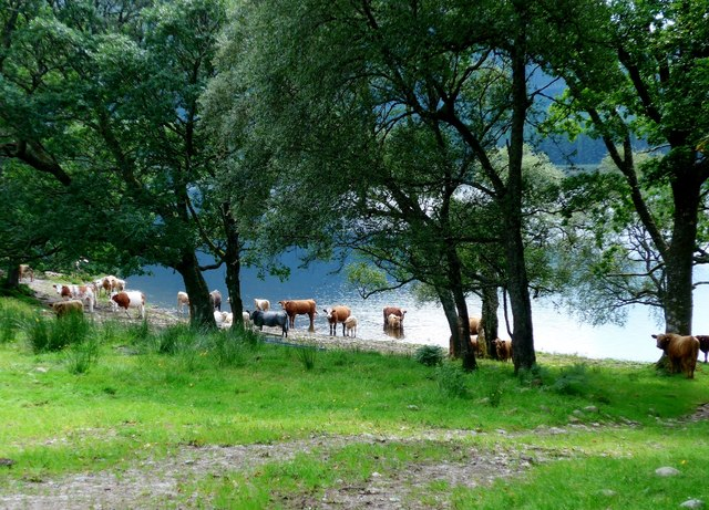 Cool cattle in Loch Shiel