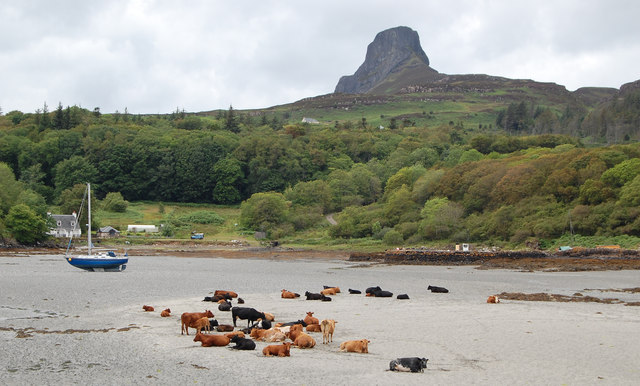 Cattle on the sands