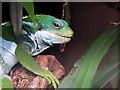 SJ8496 : Manchester Museum Vivarium, Fijian banded Iguana by David Dixon