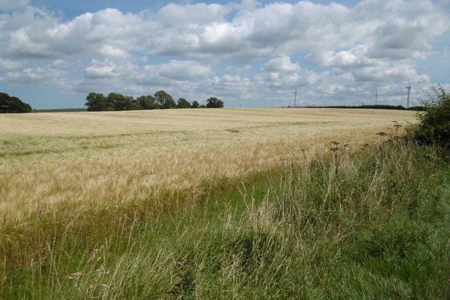 Barley near Hilton