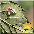 SP1146 : Hairy caterpillar by David P Howard