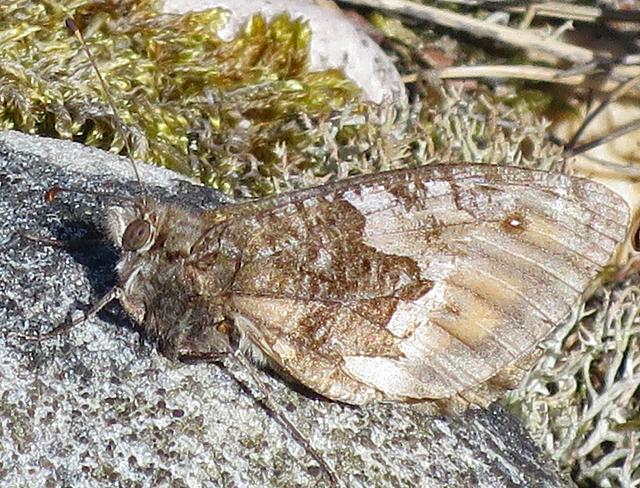 Grayling (Hipparchia semele)