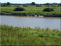 TF5902 : Sheep grazing on the bank of The River Great Ouse by Richard Humphrey