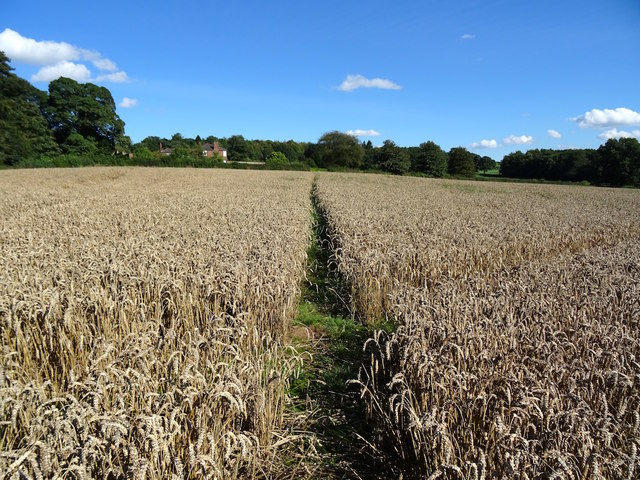 Two paths cross in a field that's ready to harvest