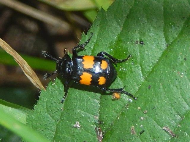 A sexton beetle