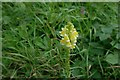 SK8925 : Toadflax in flower by Bob Harvey