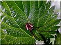 H5170 : Garden spider on a nettle leaf, Deroran by Kenneth  Allen