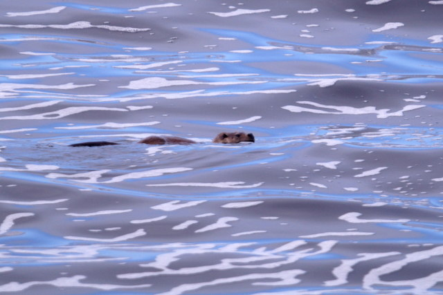 Eurasian Otter (Lutra lutra) in the surf, Westing