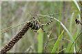 TL4855 : Wasp spider (Argiope bruennichi) by Keith Edkins