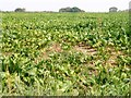 TF6607 : Sugar beet crop in Shouldham Thorpe, Norfolk by Richard Humphrey