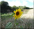 NT8637 : Sunflower in crop field near East Learmouth by JThomas