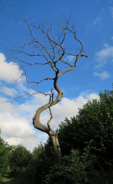 Dead Bent Tree