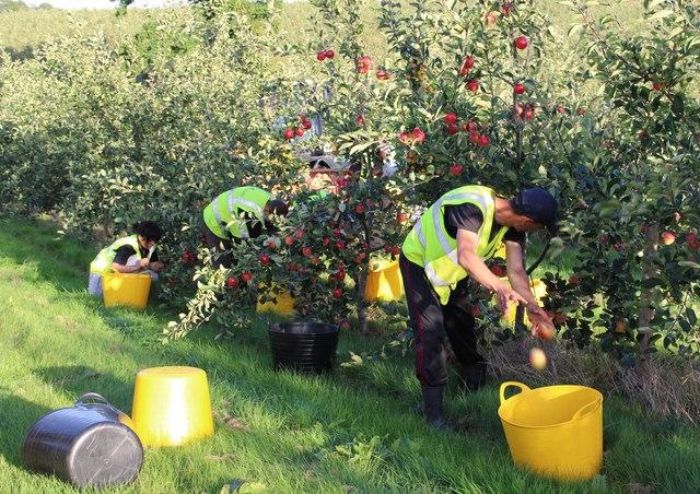 Apple harvest 2016
