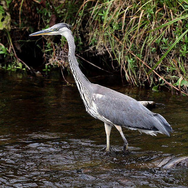 A Grey Heron (Ardea cinerea) on the Gala Water