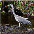 NT5035 : A Grey Heron (Ardea cinerea) on the Gala Water by Walter Baxter