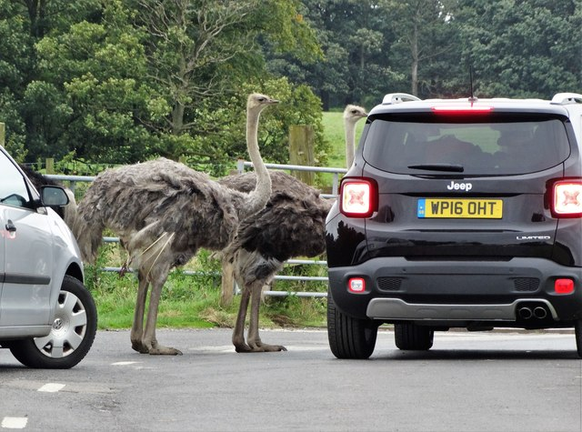 Ostriches at Knowsley Safari Park