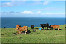 NX1430 : Cattle, Mull of Galloway by Billy McCrorie