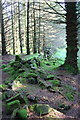 SD8278 : Ruined dry stone wall in forestry at Green Haw Moor by Roger Templeman
