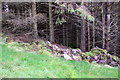 SD8278 : Ruined dry stone wall in forestry on Green Haw Moor by Roger Templeman