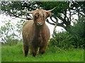 H4169 : Highland cattle, Cavanacaw Lower by Kenneth  Allen