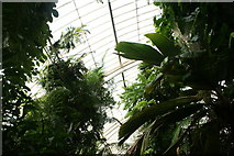 TQ1876 : Looking up at the palms in the Palm House #2 by Robert Lamb