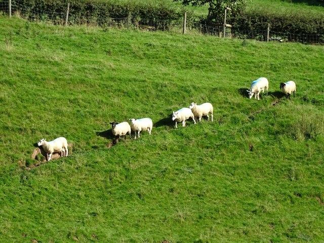 Sheep in single file