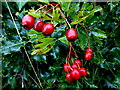 H3971 : Hawthorn berries, Botera Upper by Kenneth  Allen