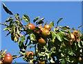 SZ3497 : Apples near Bull Hill by Steve Daniels