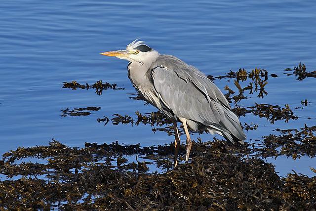 A grey heron (Ardea cinerea) at Lossiemouth