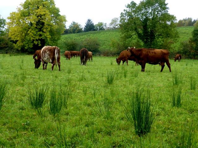 Irish moiled cow, Drudgeon
