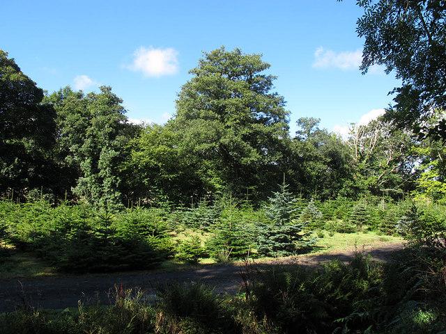 Christmas tree nursery by Sowton Cottage Bridge