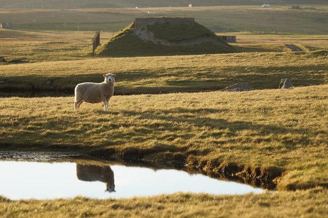 Reflective sheep on Lamba Ness