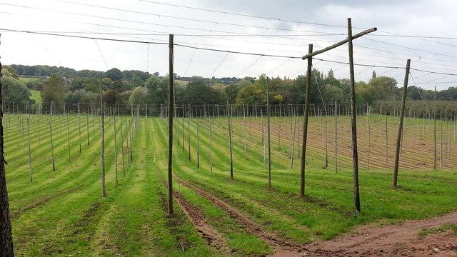 Hop poles near Paunton Court