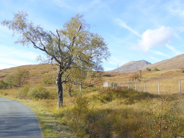 Birch tree beside the road in Glen Garry