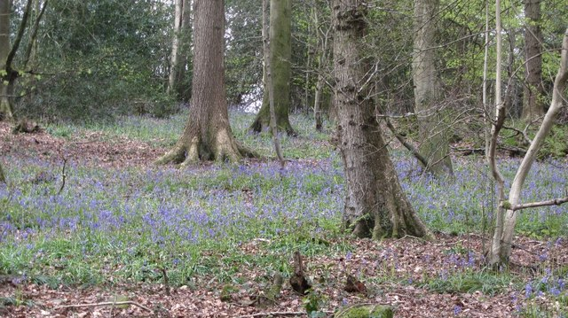 Bluebells, Bargain Wood