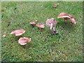 NT2470 : Honey fungus on the lawn by M J Richardson
