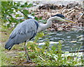 SJ3496 : Heron along the Leeds and Liverpool Canal by Mat Fascione