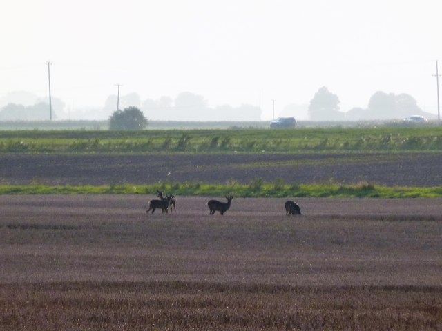 Deer in the wild near Ring's End, Cambridgeshire