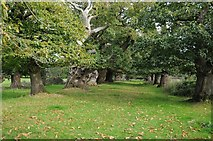 SO4465 : Avenue of Spanish Chestnuts by Philip Halling