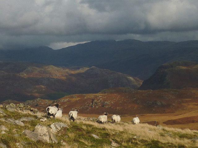 Sheep above Eskdale