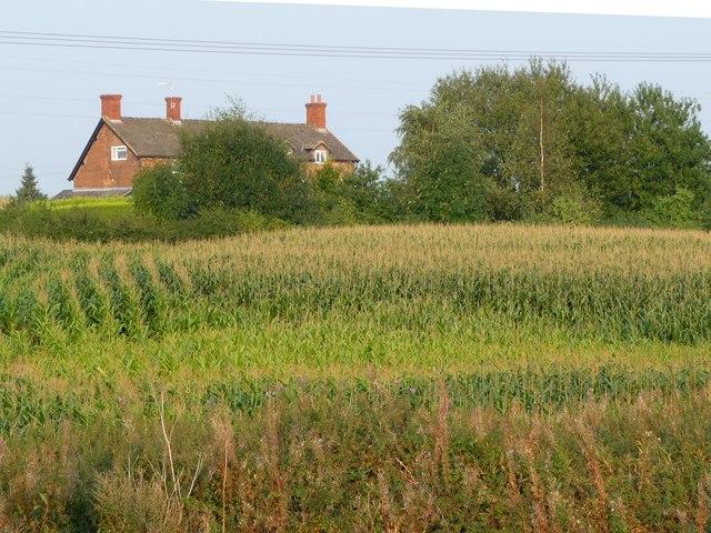 Looking across a maize field towards Eaton Hall Farm