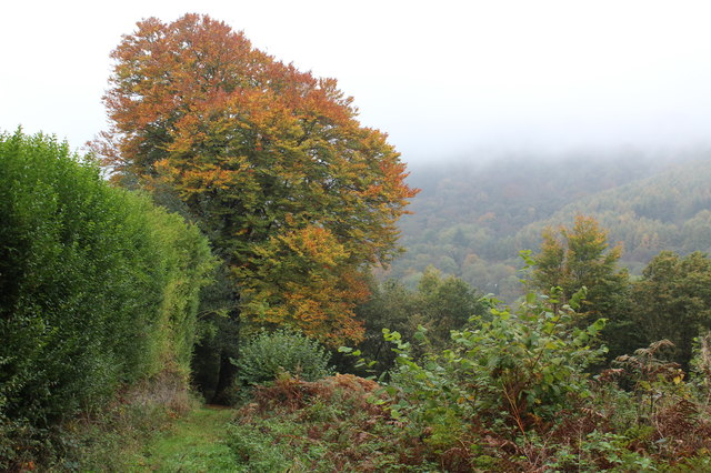 Beech tree, Raven Walk, Ynysddu
