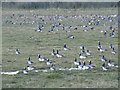 SE9124 : Barnacle Geese near Whitton Ness by Jonathan Thacker