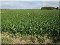 TL3242 : Sugar beet by Hugh Venables