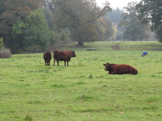 Cattle near Forde Abbey