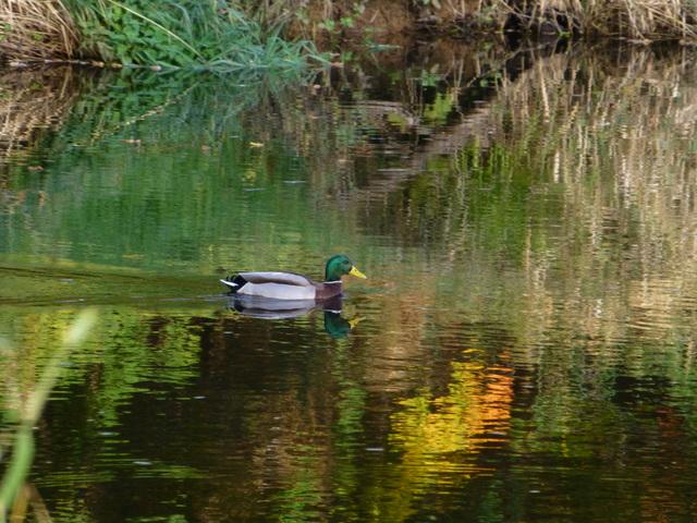 Duck, Camowen River