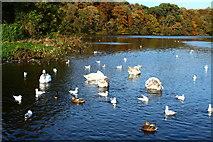 NS2209 : Swans, Ducks & Gulls, Culzean by Billy McCrorie
