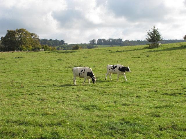 Cattle in Sherborne Castle parkland